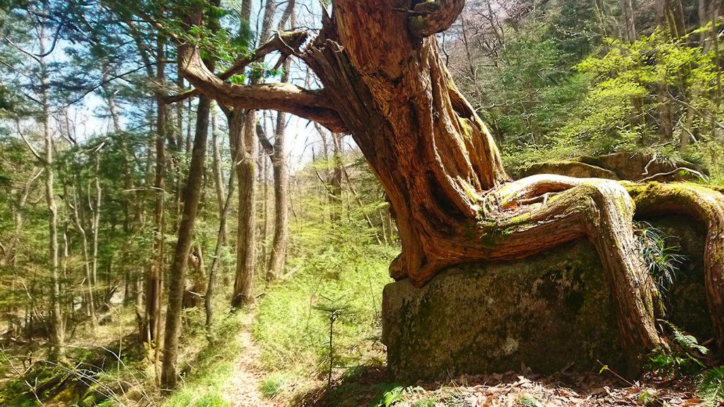 岩の上に生える巨木2