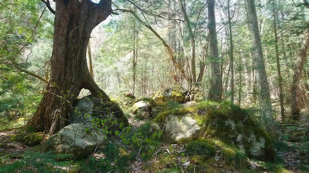 岩にまたがる巨木