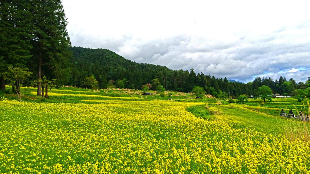 国営アルプスあづみの公園(堀金・穂高地区)の菜の花畑1