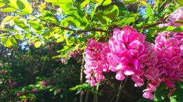 赤いニセアカシアの花1