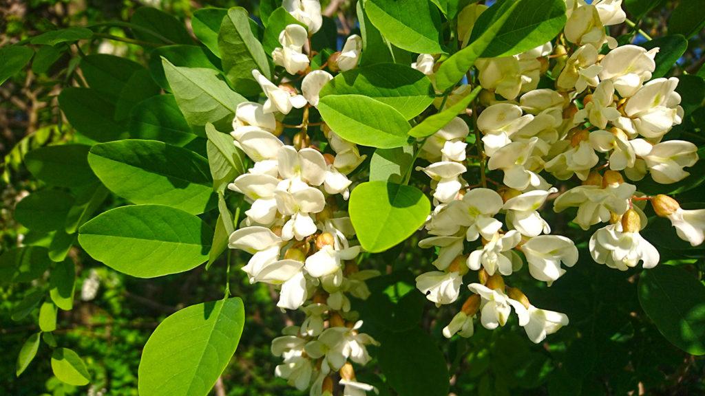 普通の白いニセアカシアの花