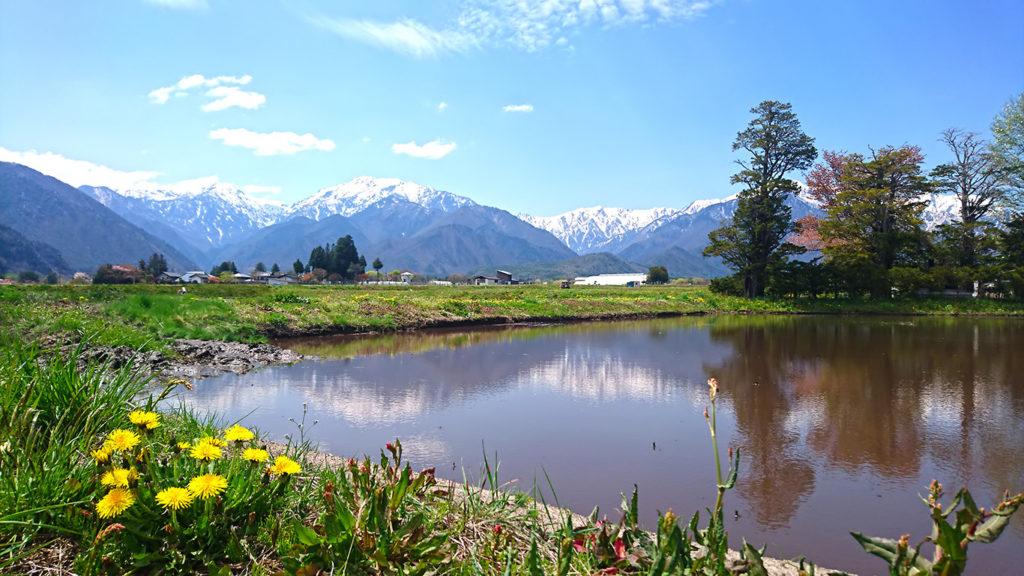 タンポポと田んぼと白く雪を被ったお山