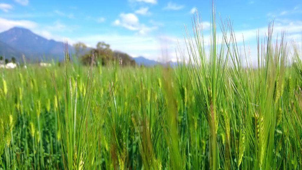 青々とした穂が出てきた大麦畑。