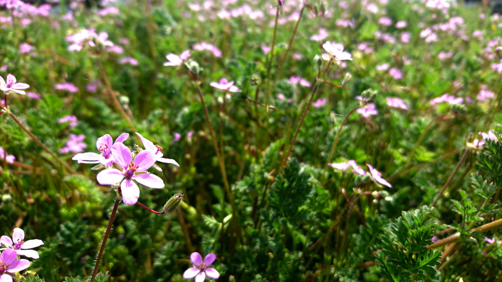 道端で咲くオランダフウロの花