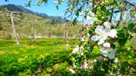 リンゴの花とタンポポの花