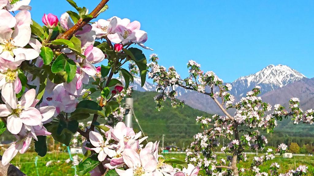 リンゴの花と常念岳