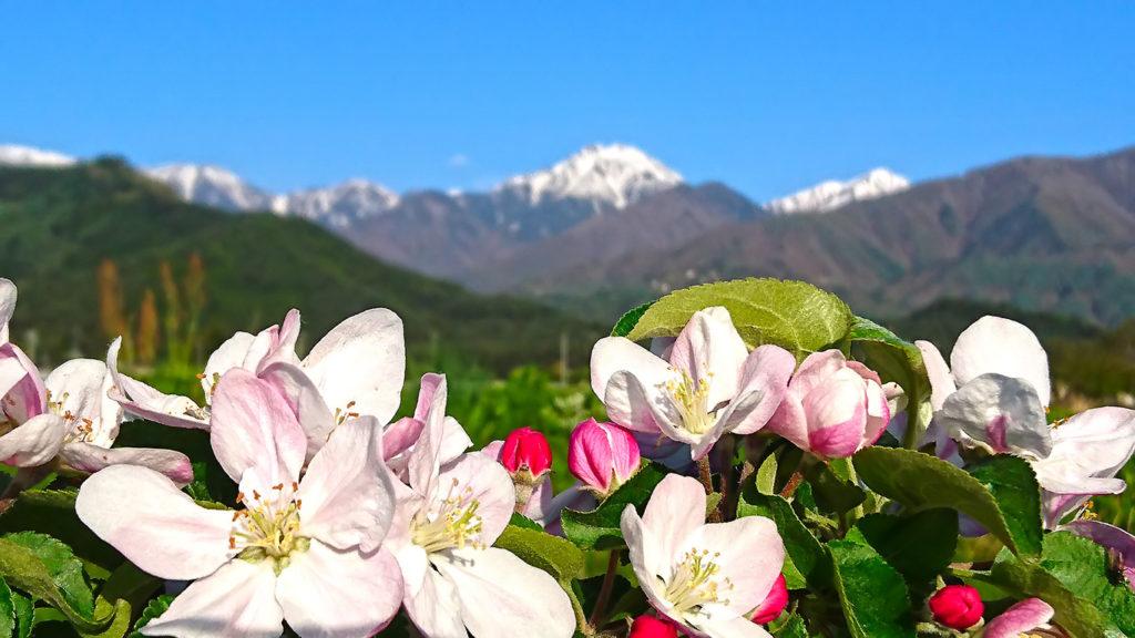 アップのリンゴの花と常念岳