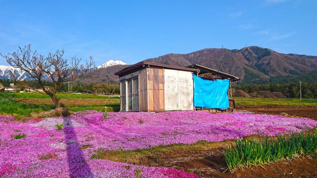 芝桜と農作業小屋と常念岳