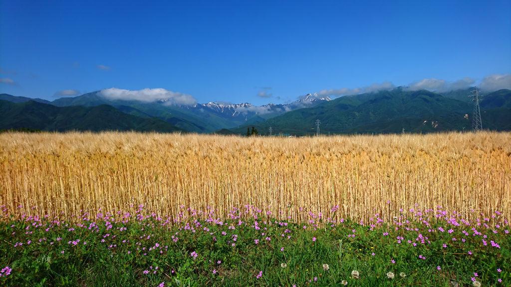 色付いた大麦畑とオランダフウロと常念岳