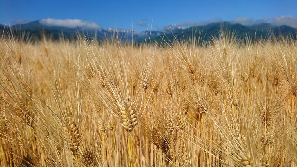 麦秋の六条大麦の穂