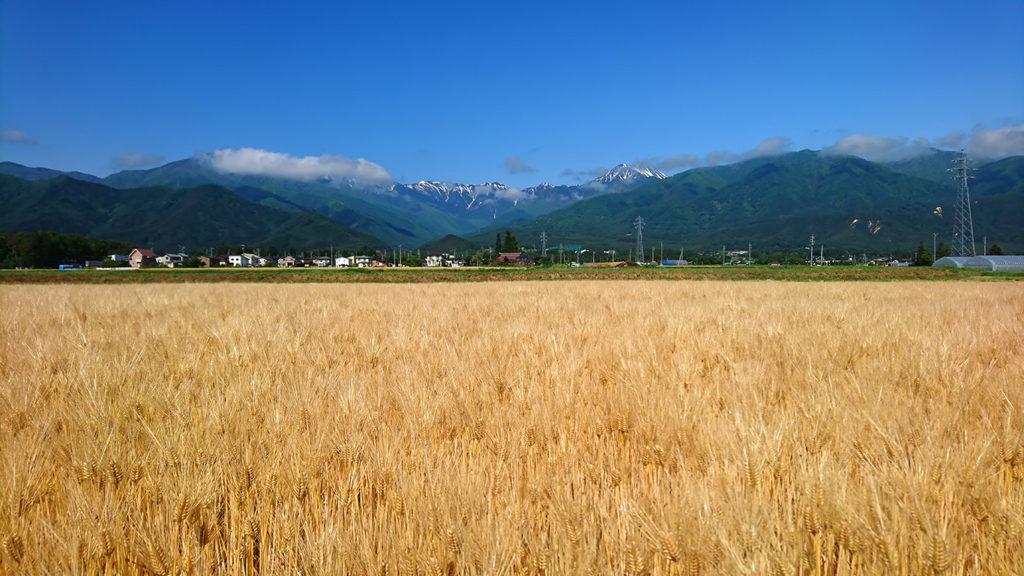 麦秋の六条大麦畑