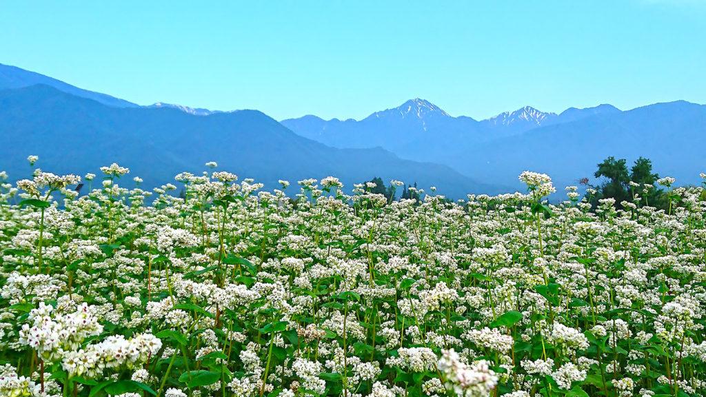 花盛りの蕎麦畑と常念岳