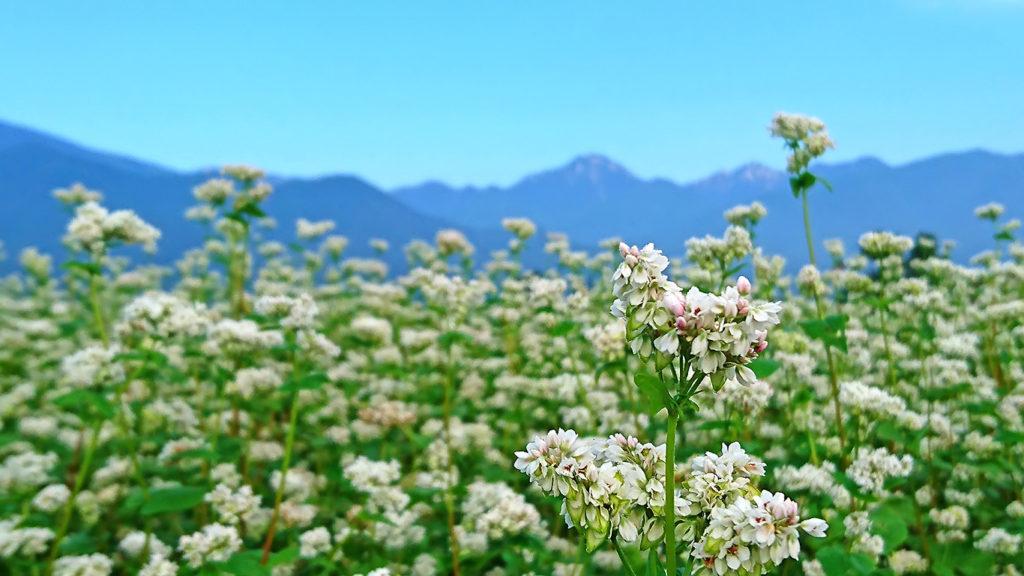 蕎麦の花と早朝の常念岳
