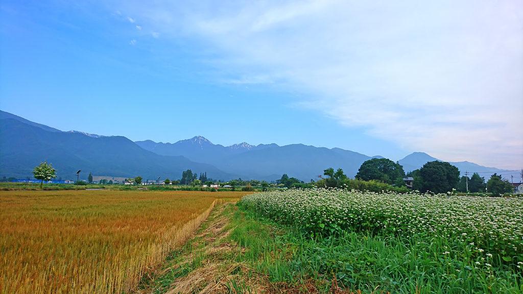 花盛りの蕎麦畑と色付いた小麦畑