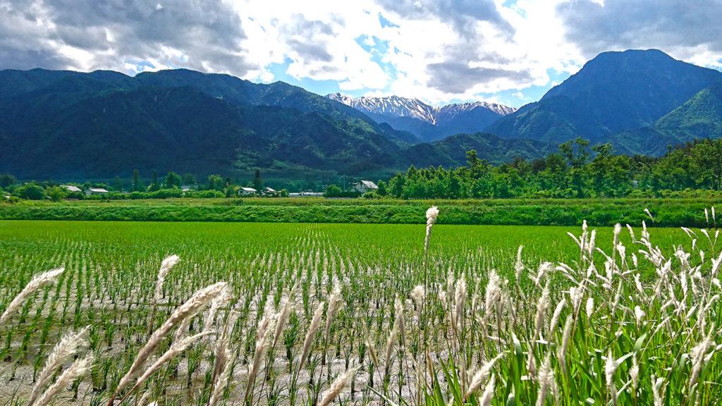 チガヤの穂と水田と有明山
