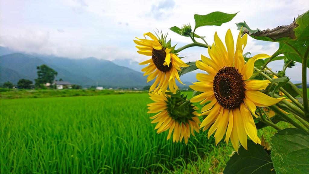 田んぼと向日葵