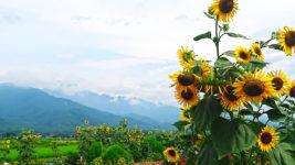 畑の脇に咲く向日葵の風景