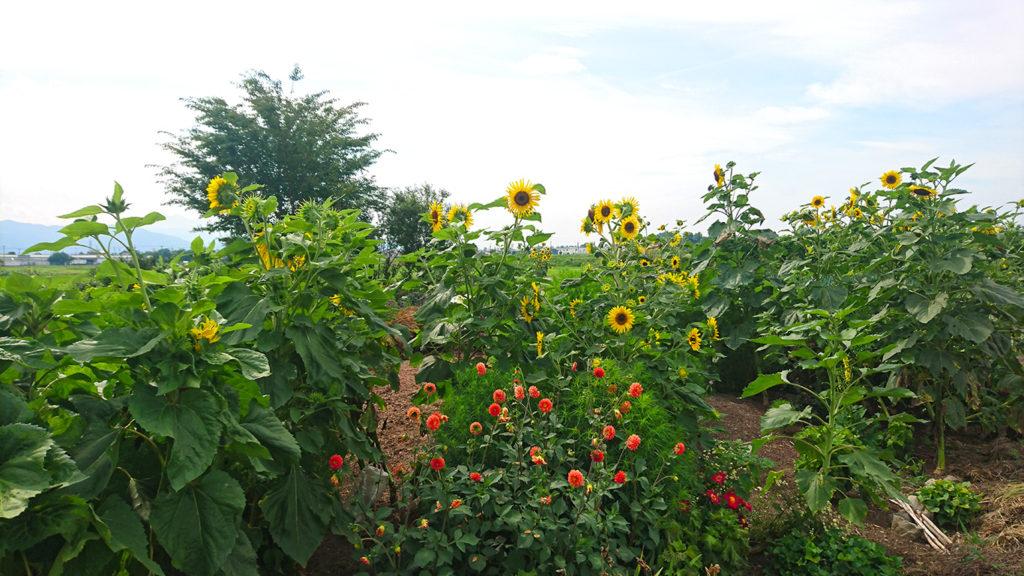 向日葵が咲く畑