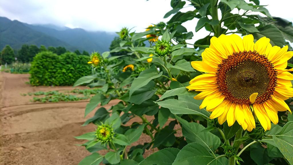 畑の脇に咲く向日葵
