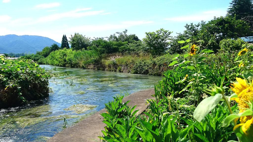 用水路とヒマワリ