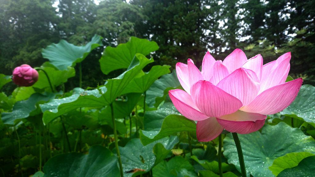 青原寺のハスの花