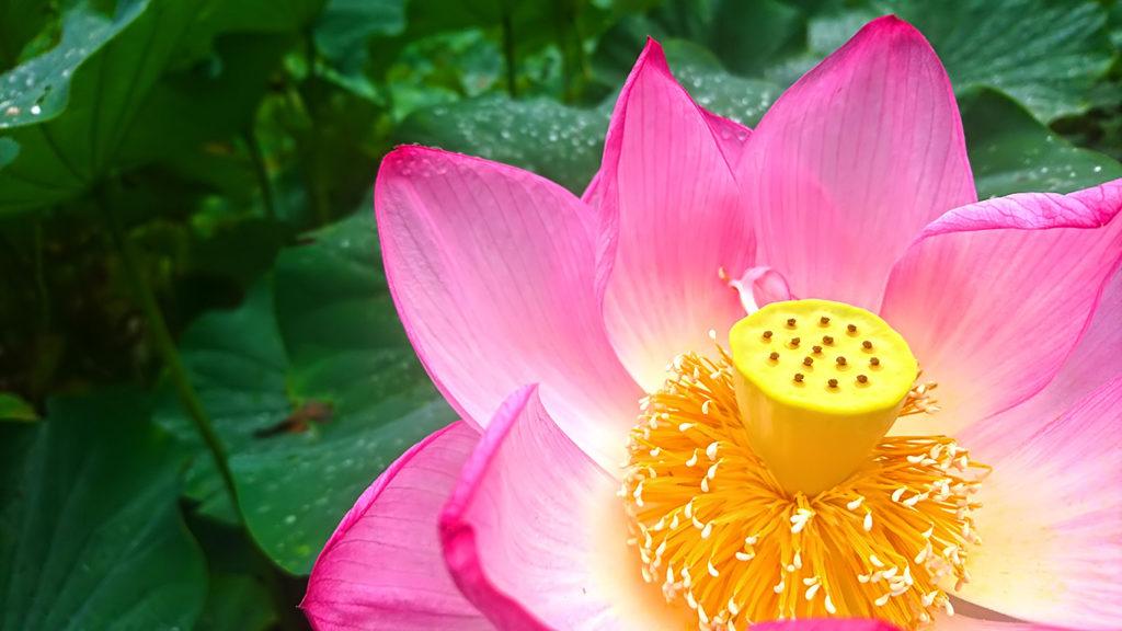 ハスの花の中心部