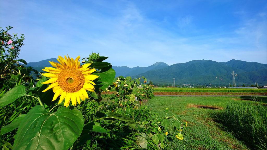 向日葵と常念岳