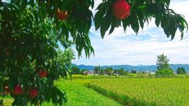 たわわに実る桃と田んぼ
