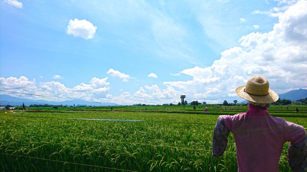案山子と田んぼと夏の空