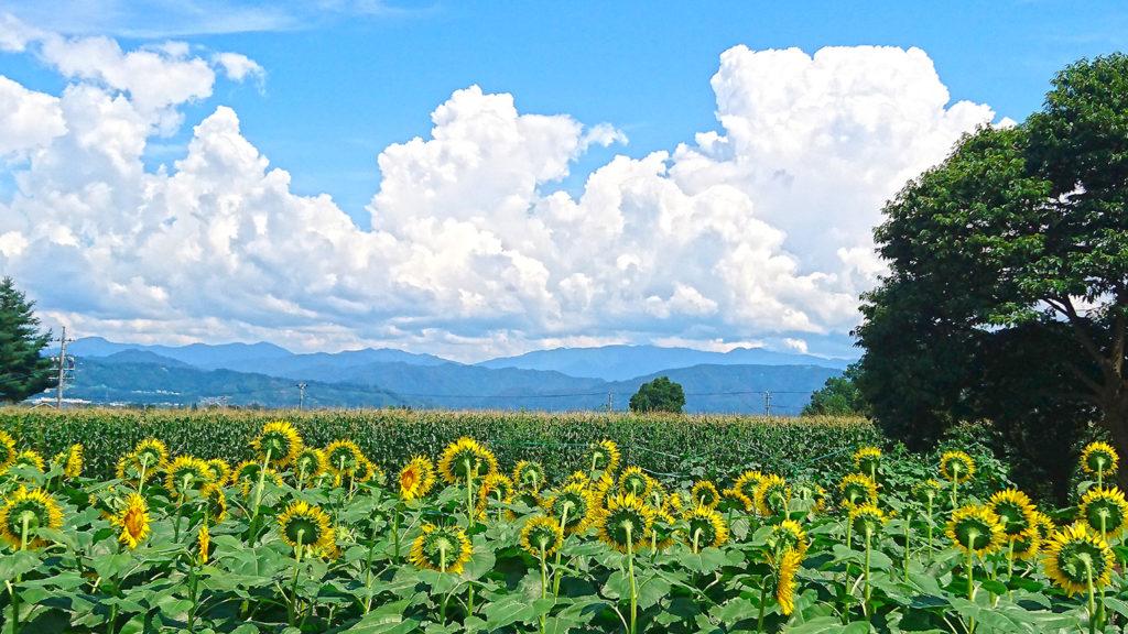向日葵とトウモロコシ畑と入道雲