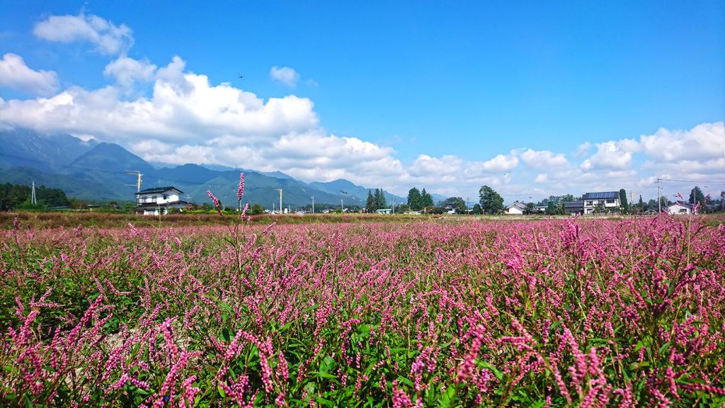 アカマンマのお花畑