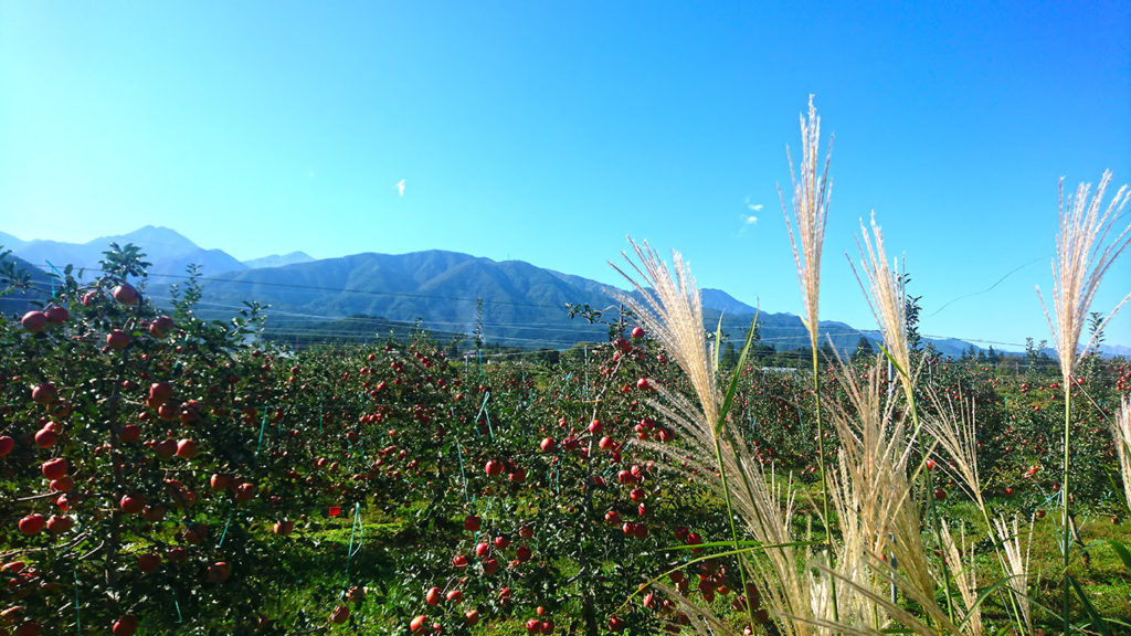 赤く色づいたリンゴとススキと常念岳