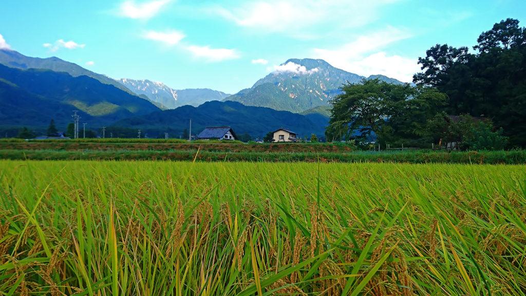 稲穂と有明山