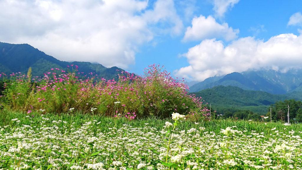 秋桜の花と蕎麦の花