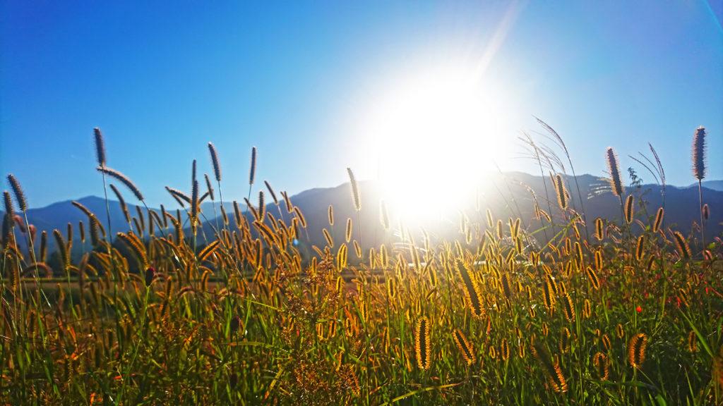 西日に輝く田んぼの畔のエノコログサの穂
