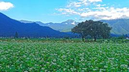 常念道祖神と蕎麦の花