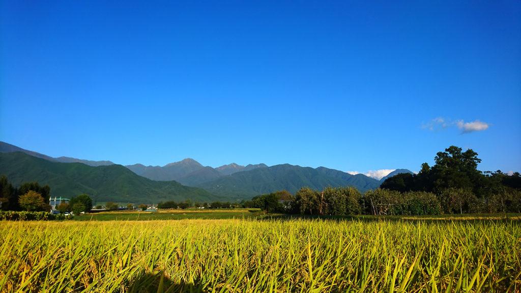 黄金色に染まる田んぼと常念岳