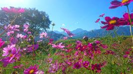 秋桜と常念岳