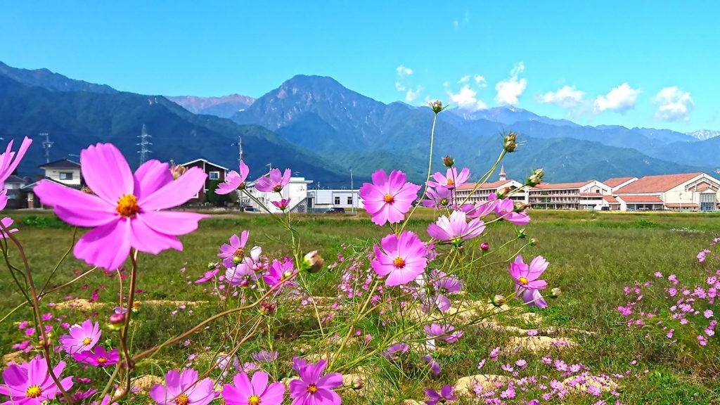 秋桜と穂高西中学と有明山