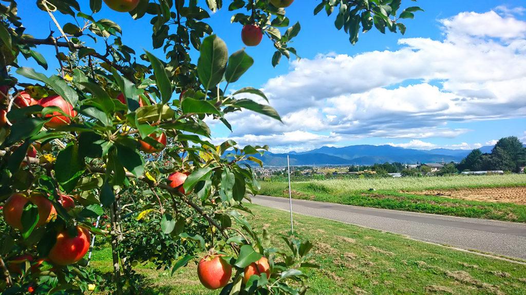 豊里にて赤く色付いたリンゴの実を
