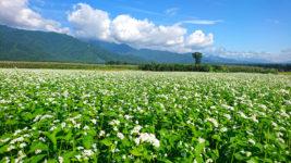 真っ白く花が咲いた蕎麦畑