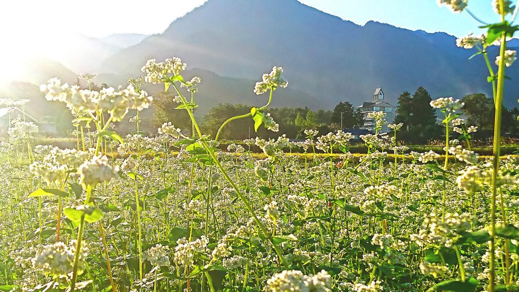 逆光に透ける蕎麦の花