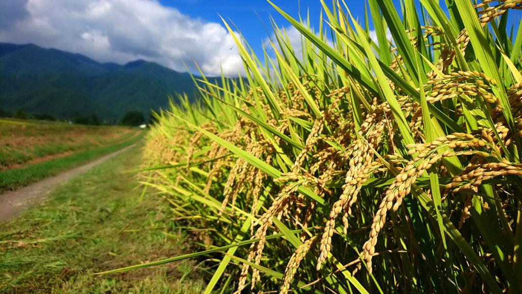 頭を垂れ始めた稲の穂