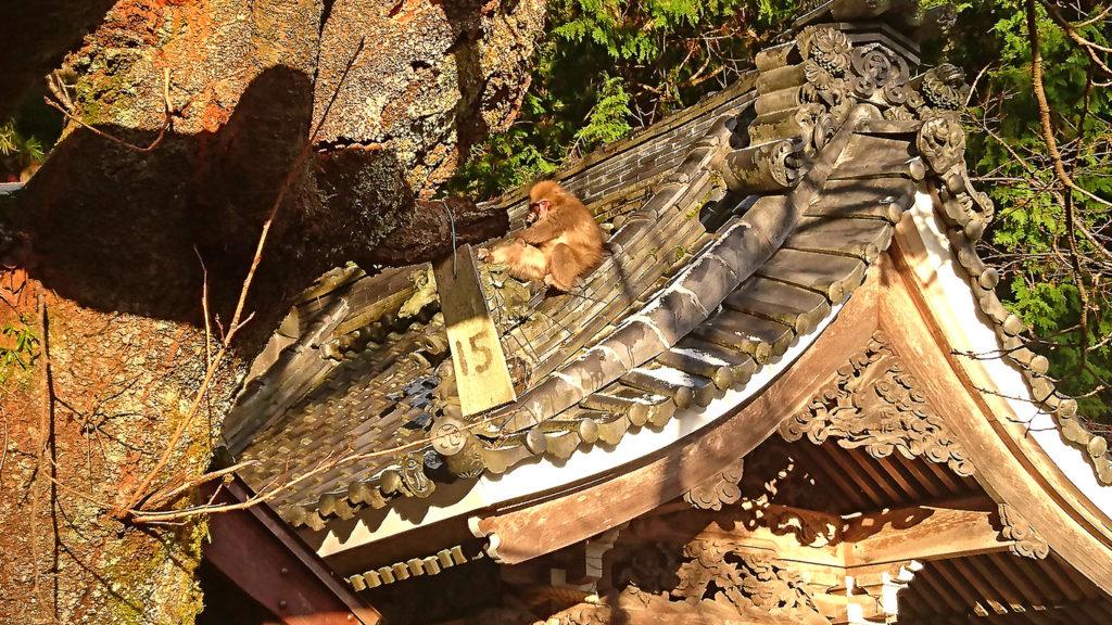 有明山神社の手水舎の屋根の上でくつろぐ猿