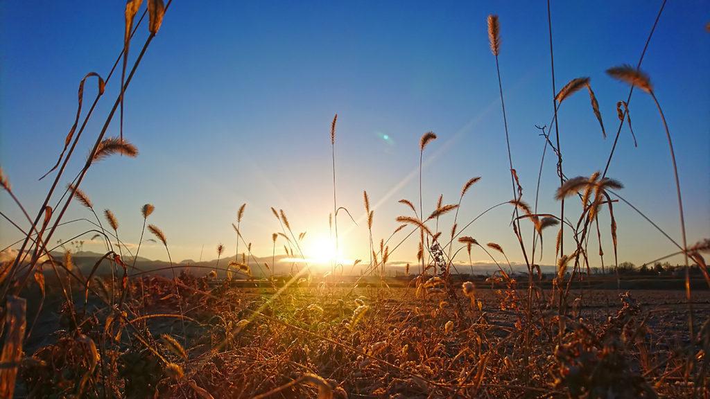 エノコログサの穂と朝日