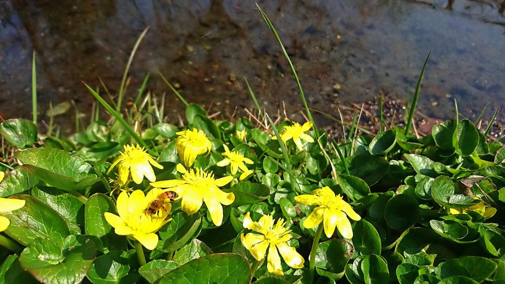 リュウキンカの花とミツバチ