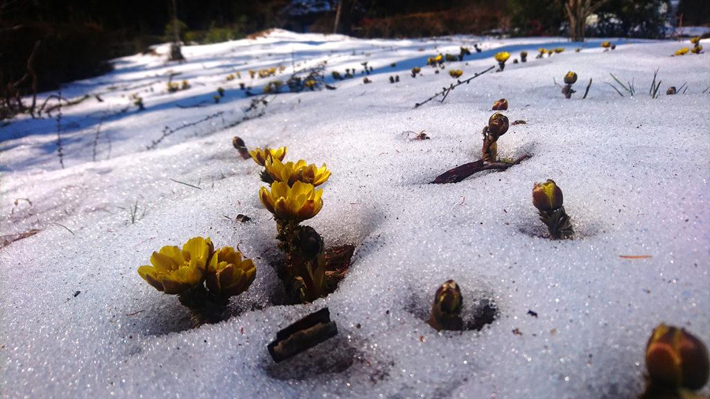 雪の中から顔を出す福寿草の花