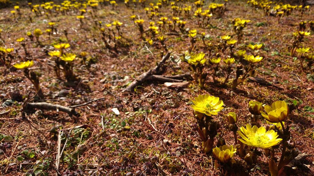 松尾寺の福寿草の花