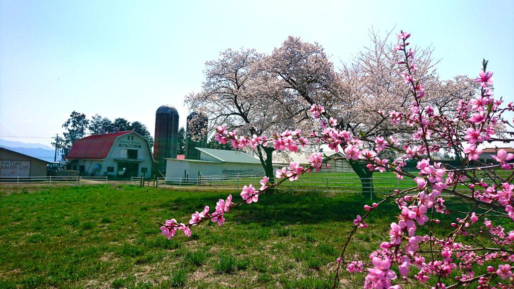 北アルプス牧場の桜