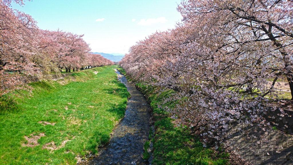 黒沢川堤防沿いの桜